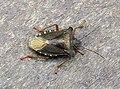 Forest Bug (3897487306).jpg