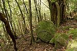 Forest in Yakushima 31.jpg