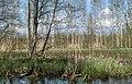 Forest near Olgino 2020-05-08-1.jpg