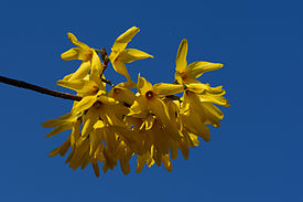 Forsythia x intermedia 01.JPG