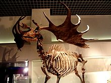 Megaloceros Wikipedie