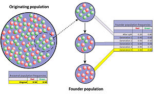 Genetic drift - When very few members of a population migrate to form a separate new population, the founder effect occurs. For a period after the foundation, the small population experiences intensive drift. In the figure this results in fixation of the red allele.