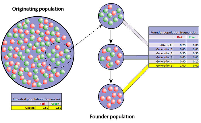 When very few members of a population migrate to form a separate new population, the founder effect occurs. For a period after the foundation, the small population experiences intensive drift. In the figure this results in fixation of the red allele. Founder effect with drift.jpg