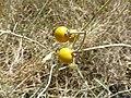 Früchte einer Pflanze.jpg