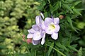 Freesia Blue Sea 5zz.jpg