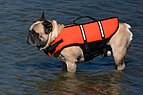 French bulldog in life jacket.jpg