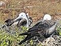 Frigatebirds - North Seymour Island - Galapagos Islands - Ecuador (4870516333).jpg