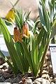 Fritillaria carica 11.jpg