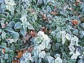 Frosted vegetation - geograph.org.uk - 613830.jpg