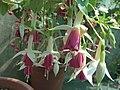 Fuchsia Jeanne d'Arc1MTFL.jpg