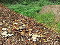 Fungi in a pile of woodchips, Horsforth Hall Park - geograph.org.uk - 272584.jpg