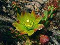G20080611-1869-Cylindropuntia californica var californica (Syn C parryi var serpentina)--RPBG (8943343019).jpg