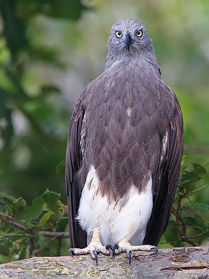 Lesser fish eagle - Lesser fish eagle on the banks of river Kaveri, India