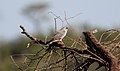 Gabar Goshawk (Micronisus gabar) (46509331432).jpg