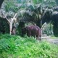 Gajah di Taman Safari.jpg