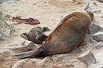 Galápagos sea lions, Santa Fe Island 03.jpg