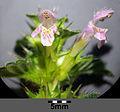 Galeopsis tetrahit sl10.jpg