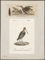 Gallinago scolopacina - 1700-1880 - Print - Iconographia Zoologica - Special Collections University of Amsterdam - UBA01 IZ17400297.tif