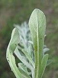 Gamochaeta calviceps leaf2 Dungog (15070197139).jpg