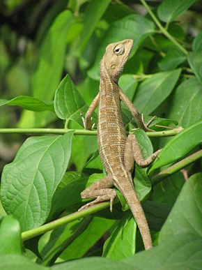 Description de l'image Garden Lizard kolkata 2009 05 07.JPG.