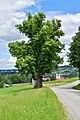 Garsten - nd375 - Bertoldi-Linde mit der Pfarrkirche Garsten im Hintergrund.jpg