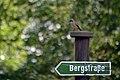 Gartenrotschwanz - männlich - im Rochlitzer Bergwald - Geotop - Sachsen.jpg