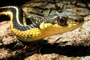 Garter Snake, close up, taken in North Ontario...