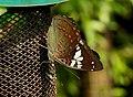 Gaudy Baron Euthalia lubentina female UN by Dr. Raju Kasambe DSCN9225 (6).jpg