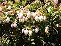 Gaultheria myrsinoides Irazu.jpg