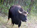 Gaur or Indian Bison. Bos guarus - Flickr - gailhampshire.jpg