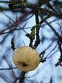 Gefrorener Apfel.JPG