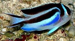 Genicanthus bellus