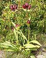 Gentiana purpurea gaustad IMG 0091.JPG
