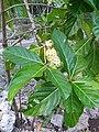 Gentianales - Morinda yucatanensis - 4.jpg