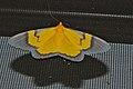 Geometrid Moth (Celerena signata) (8093748635).jpg