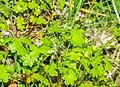 Geranium lucidum in Lozere (1).jpg