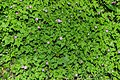 Geranium robertianum in Aveyron 02.jpg
