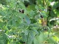 Geranium sinensis (14648268091).jpg