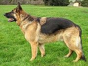 Nemecký ovčiak - najčastejšie využívaný na výcvik obrany