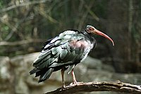 Geronticus eremita -Bronx Zoo, New York City, USA-8a.jpg