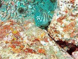 Cirrhitus pinnulatus viquipdia lenciclopdia lliure estat sciox Choice Image