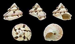 <i>Gibbula fanulum</i> Species of sea snail