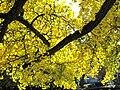 Ginkgo leaves (Vaires) 1.jpg