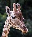 Giraffa - Serengeti-Park Hodenhagen 2017 05.jpg