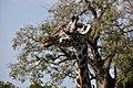 Giraffe, Tarangire National Park (26) (28718366205).jpg