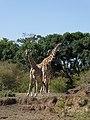 Giraffe (37392547701).jpg