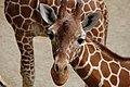 Giraffe (7303748070).jpg