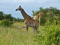 Giraffe (Giraffa camelopardalis) calf with its mother (14031070034).jpg