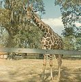 Giraffe at Louisiana Purchase Gardens and Zoo.jpg