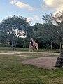 Giraffes (31774358816).jpg